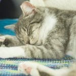 Grey and white tabby sleeping at a pet adoption event