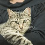 Grey tabby with green eyes being held by its new owner after being adopted