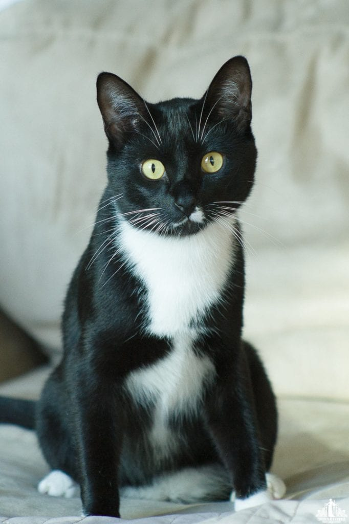 VOKRA kitties. Adoptable cats in Vancouver tuxedo cat with green eyes by photographer Angela McConnell