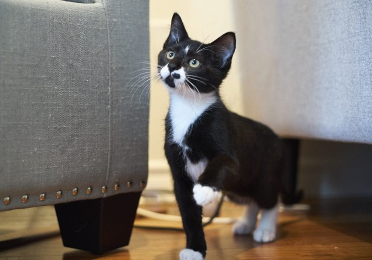 VOKRA kitties. Adoptable cats in Vancouver tuxedo kitten with green eyes by photographer Angela McConnell