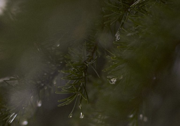 Frozen droplets of water hanging from the end of pine firs while spring snowshoeing Dog Mountain by Vancouver photographer Angela McConnell