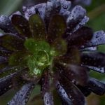 Close up image of raindrops on succulents on the coast at Pauatahanui Inlet in Wellington
