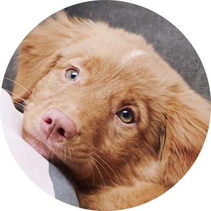 A Nova Scotia Duck Toller puppy snuggles on the couch during a portraits for pets session by Vancouver photographer Angela McConnell