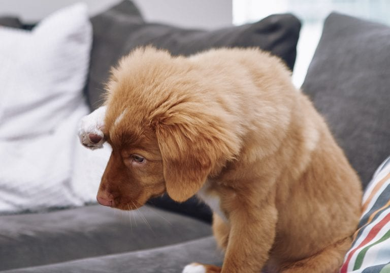 A Nova Scotia Duck Toller puppy pretends to be shy for a treat during a portraits for pets session by Vancouver photographer Angela McConnell