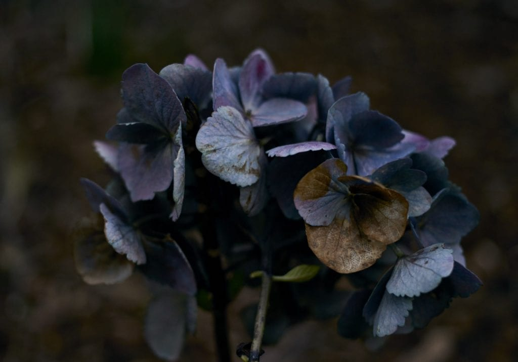Close up of a dying hydrangea with faded purple and blue colours