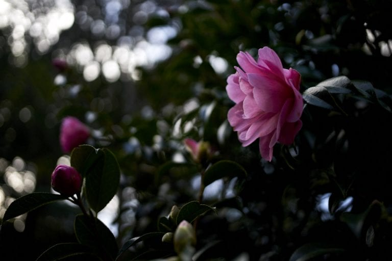 Camellias in the afternoon light at Bolton Street Cemetery in Wellington