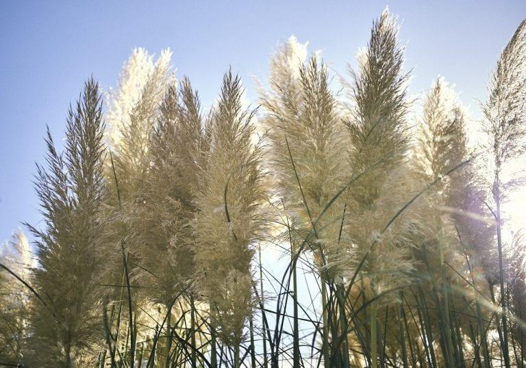 Image of the sun shining through and illuminating pampas grass