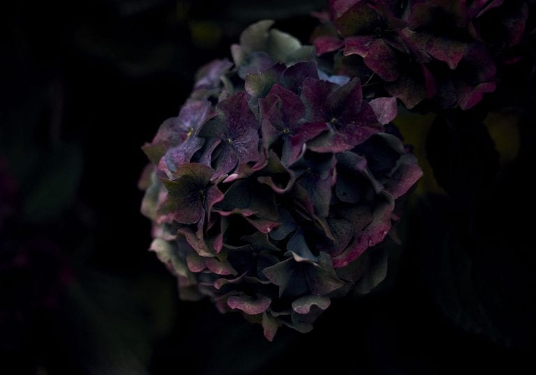 Image of a dying hydrangea with purple, maroon and blue colours surrounded by shadowy foliage