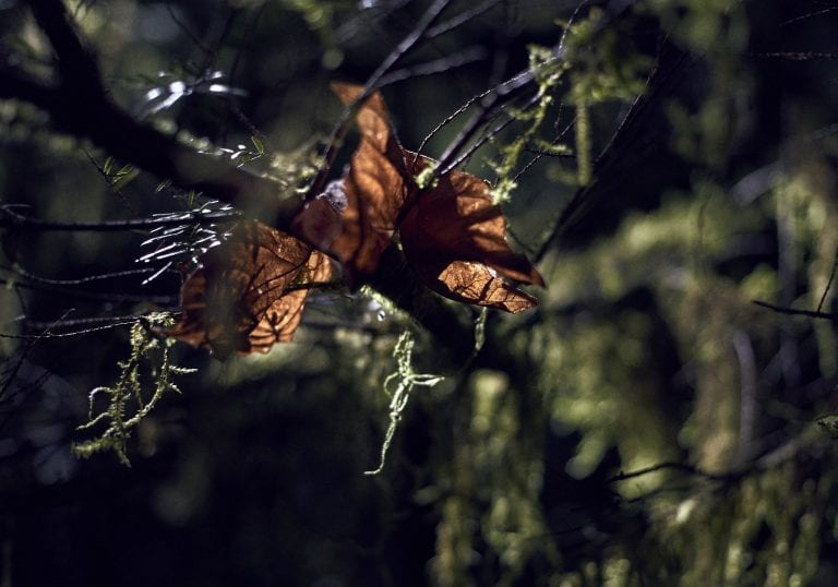 Image of moss hanging off a tree branch with the sun shining through dead leaves
