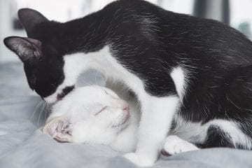 Adoptable cats and kittens from VOKRA in Vancouver. Black and white kitten cleans it's white sibling by photographer Angela McConnell